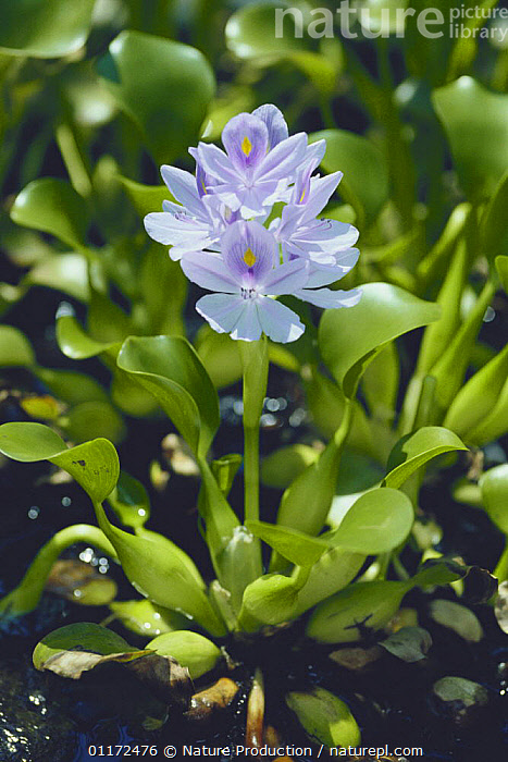 Water Hyacinth {Eichhornia crassipes} Japan  ,  AQUATIC,ASIA,FLOWERS,JAPAN,MONOCOTYLEDONS,PESTS,PLANTS,PONTEDERIACEAE,VERTICAL,WATER  ,  Nature Production
