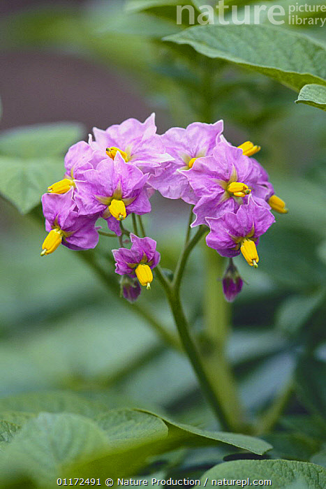 Potato flowers {Solanum tuberosum} Japan  ,  ASIA,DICOTYLEDONS,EDIBLE,FLOWERS,JAPAN,PLANTS,PURPLE,SOLANACEAE,VEGETABLES,VERTICAL  ,  Nature Production