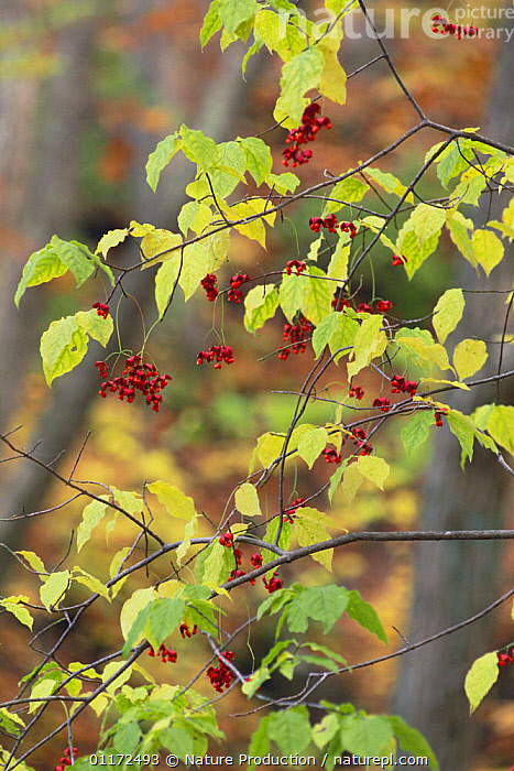 Berries of Korean Spindle Tree {Euonymus oxyphyllus} Gumma, Japan  ,  ASIA,CELASTRACEAE,DICOTYLEDONS,FRUIT,JAPAN,PLANTS,VERTICAL  ,  Nature Production