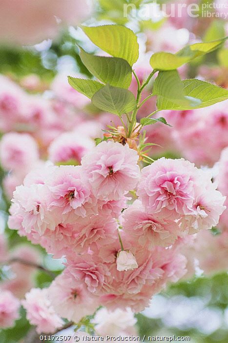 Cherry blossom {Prunus Cerasus lannesiana `Albo-rosea'} Tokyo, Japan  ,  ASIA,DICOTYLEDONS,FLOWERS,JAPAN,PINK,PLANTS,ROSACEAE,SPRING,VERTICAL  ,  Nature Production
