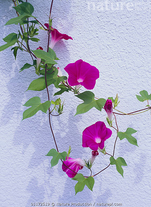 Morning Glory {Ipomoea nil} Tokyo, Japan  ,  ASIA,CLIMBERS,CONVOLVULACAEA,DICOTYLEDONS,FLOWERS,JAPAN,PLANTS,VERTICAL  ,  Nature Production