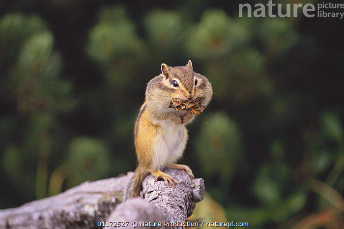 Ezo Chipmunk {Tamias / Eutamias sibiricus lineatus} carrying materials in its mouth to build a nest, Hokkaido, Japan  ,  ASIA,CHIPMUNKS,FEEDING,HUMOROUS,JAPAN,MAMMALS,NESTING BEHAVIOUR,RODENTS,VERTEBRATES,VERTICAL,Concepts,Reproduction  ,  Nature Production