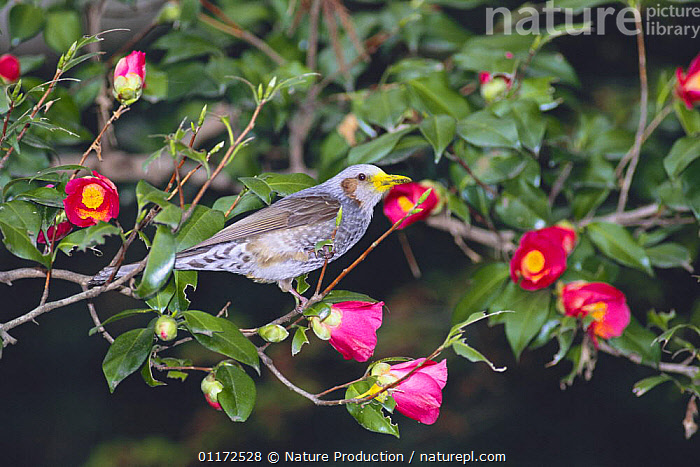 Brown-eared Bulbul {Microscelis amaurotis} with mouth dyed yellow with pollen from sucking nectar from Camellia flowers, Tokyo, Japan  ,  ASIA, BEHAVIOUR, BIRDS, BULBULS, colour, FEEDING, FLOWERS, JAPAN, VERTEBRATES  ,  Nature Production