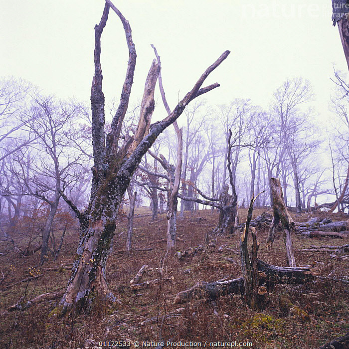 Japanese Beech trees {Fagus crenata} defoliated by acid rain, Tanzawa, Kanagawa, Japan  ,  ASIA,DEATH,DICOTYLEDONS,FAGACEAE,JAPAN,LANDSCAPES,PLANTS,POLLUTION,TREES  ,  Nature Production