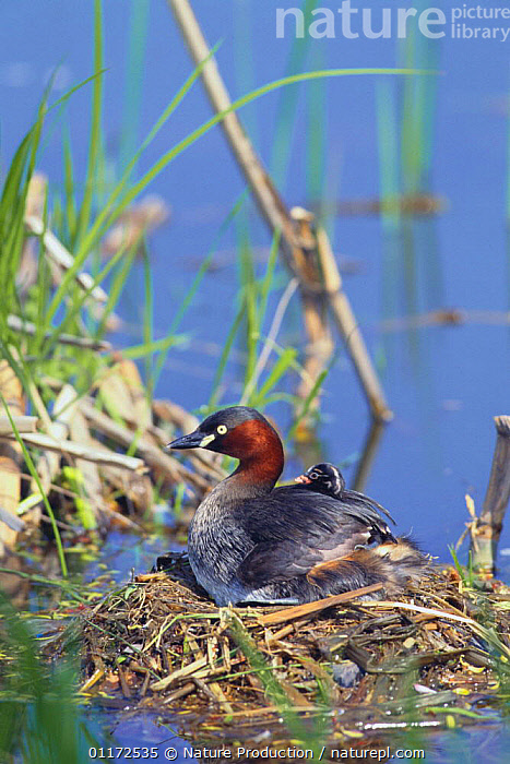 Little Grebe {Tachybaptus ruficollis} adult and chick at nest, Tokyo, Japan  ,  ASIA,BIRDS,CHICKS,CUTE,FAMILIES,GREBES,JAPAN,NESTS,VERTEBRATES,VERTICAL,WATER,WATERFOWL , dabchick  ,  Nature Production