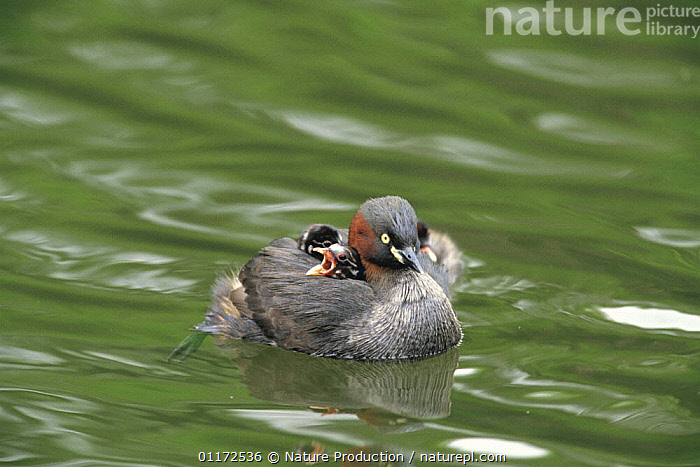 Little Grebe {Tachybaptus ruficollis} adult with chicks on its back, Tokyo, Japan  ,  ASIA,BABIES,BIRDS,CARRYING,CHICKS,FAMILIES,GREBES,JAPAN,PARENTAL BEHAVIOUR,VERTEBRATES,WATERFOWL , dabchick  ,  Nature Production