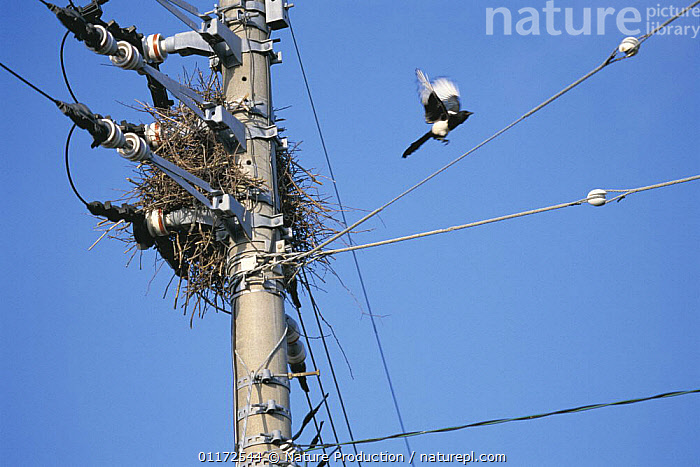 Magpie {Pica pica} building a nest amongst wires on an electric pole, Fukuoka, Japan  ,  ASIA,BIRDS,ELECTRICITY,ENERGY,FLYING,INTERESTING,JAPAN,MAGPIES,NESTS,VERTEBRATES,Corvids  ,  Nature Production