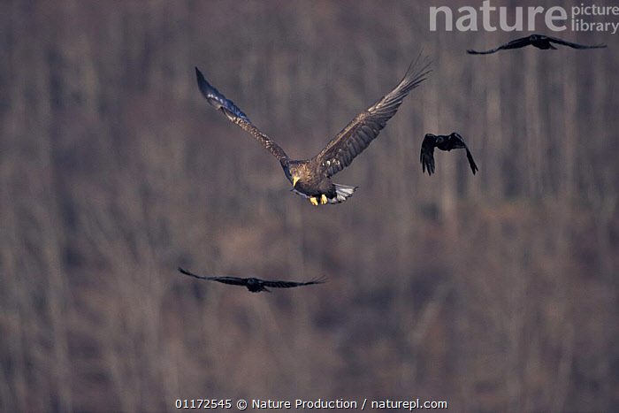 White-tailed sea eagle {Haliaeetus albicilla} being mobbed by Crows, Akan, Hokkaido, Japan  ,  AGGRESSION,ASIA,BEHAVIOUR,BIRDS,BIRDS OF PREY,EAGLES,FLYING,JAPAN,MIXED SPECIES,MOBBING,VERTEBRATES,Concepts,Raptor  ,  Nature Production