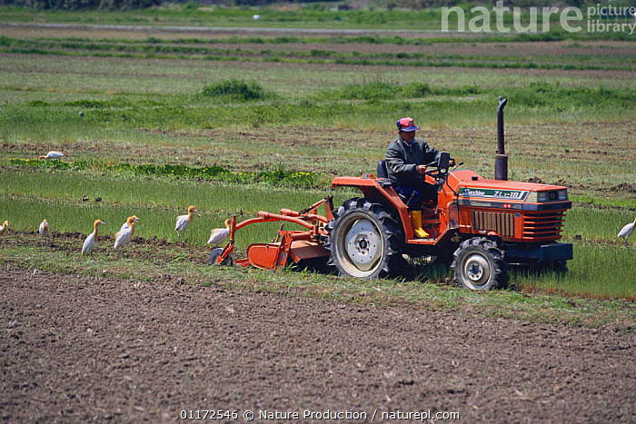 Cattle Egrets {Bubulcus ibis} gathering behind tractor to feed on insects, Tsushima, Nagasaki, Japan  ,  AGRICULTURE,ASIA,BEHAVIOUR,BIRDS,EGRET,FARMLAND,FLOCKS,HERONS,JAPAN,PEOPLE,PLOUGHING,VEHICLES,VERTEBRATES  ,  Nature Production