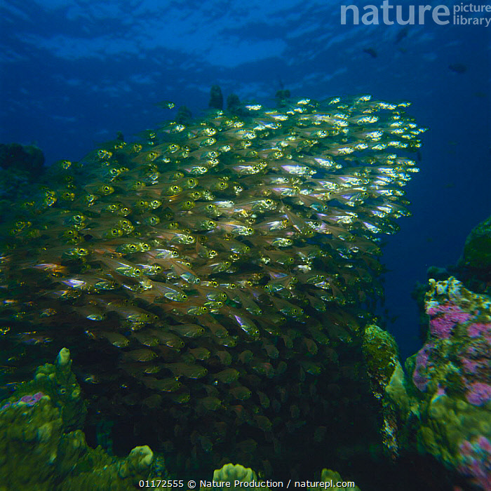 School of Pygmy / Golden Sweepers {Parapriacanthus ransonneti} Japan, FISH,GROUPS,MARINE,MASS,OSTEICHTHYES,PACIFIC,SWEEPERS,TROPICAL,UNDERWATER,VERTEBRATES, Nature Production