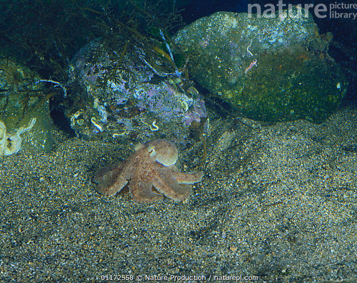 Short armed Octopus {Octopus ocellatus} digging itself into sand on seabed, Japan, sequence 1/5, MARINE, MOLLUSCS, TEMPERATE, UNDERWATER, BEHAVIOUR, CEPHALOPODS, DEFENSIVE, INVERTEBRATES, OCTOPUS, PACIFIC,Asia, Nature Production
