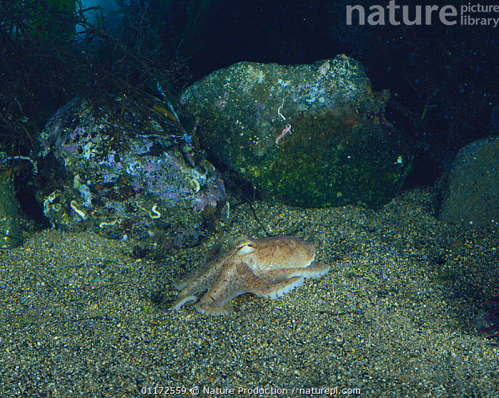Short armed Octopus {Octopus ocellatus} digging itself into sand on seabed, Japan, sequence 2/5, BEHAVIOUR, CEPHALOPODS, INVERTEBRATES, MARINE, OCTOPUS, PACIFIC, TEMPERATE, UNDERWATER, DEFENSIVE, MOLLUSCS,Asia, Nature Production