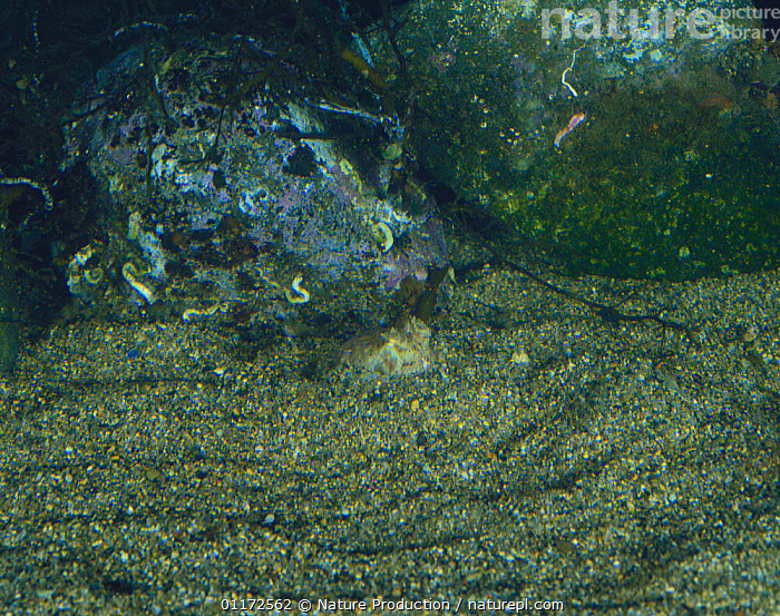 Short armed Octopus {Octopus ocellatus} digging itself into sand on seabed, Japan, sequence 5/5, BEHAVIOUR, CEPHALOPODS, DEFENSIVE, hiding, INVERTEBRATES, OCTOPUS, PACIFIC, MARINE, MOLLUSCS, TEMPERATE, UNDERWATER,Asia, Nature Production