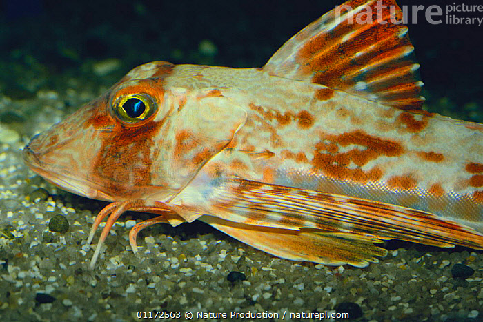 """Gurnard {Chelidonichthys spinosus} foraging with its """"hands"""" (transformed pectoral fins) Japan, adaptation, FISH, MARINE, VERTEBRATES, BEHAVIOUR, GURNARDS, OSTEICHTHYES, PACIFIC, TEMPERATE, UNDERWATER, Nature Production"""