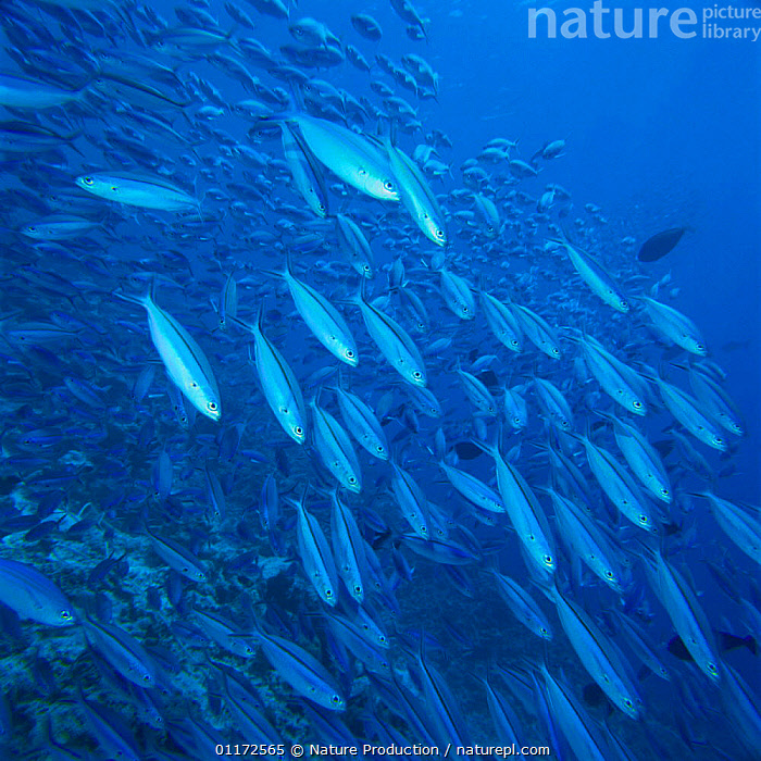 School of Dark-Banded Fusiliers {Pterocaesio tile} Japan, FISH,FUSILIERS,GROUPS,MARINE,MASS,OSTEICHTHYES,PACIFIC,TROPICAL,UNDERWATER,VERTEBRATES, Nature Production