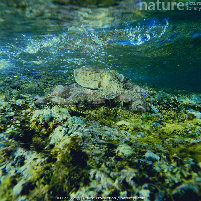 Common Octopus {Octopus vulgaris} camouflaged as rock in the shallow water, Japan, CAMOUFLAGE,CEPHALOPODS,INVERTEBRATES,MARINE,MOLLUSCS,OCTOPUS,PACIFIC,TEMPERATE,UNDERWATER, Molluscs, Nature Production