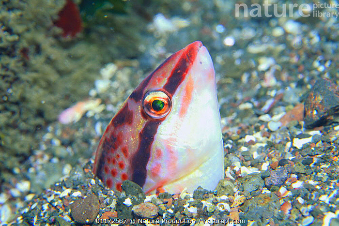 Labrid Fish / Kyusen Wrasse {Halichoeres poecilopterus} resting on seabed hidden in sand, Japan, BEHAVIOUR,DEFENSIVE,FISH,HIDING,MARINE,OSTEICHTHYES,PACIFIC,UNDERWATER,VERTEBRATES,WRASSE,Asia, Nature Production