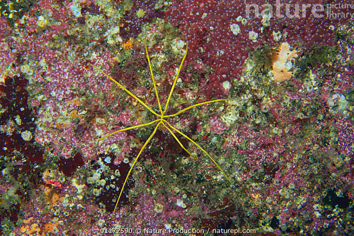 Sea Spider {Pantopoda sp} Izu, Shizuoka, Japan, INVERTEBRATES,JAPAN,PYCNOGONIDA,SEA SPIDERS,TEMPERATE,UNDERWATER,Asia, Nature Production