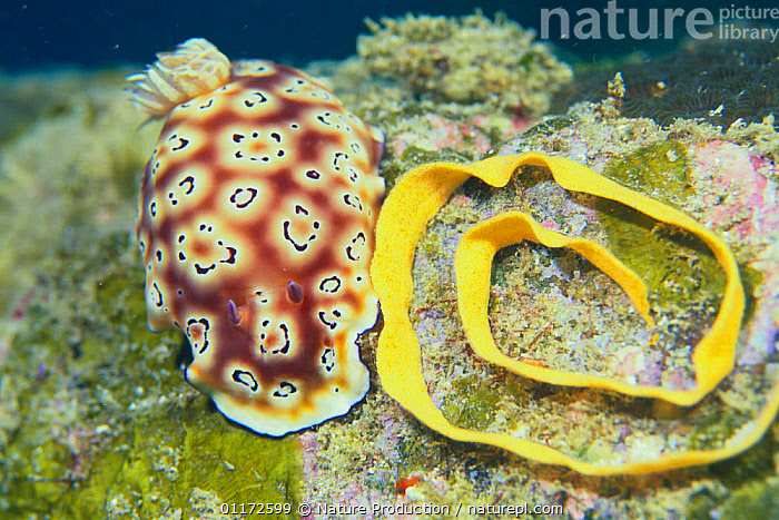 Nudibranch {Chromodoris leopardes} laying eggs, Japan, EGGS,GASTROPODS,INVERTEBRATES,MARINE,MOLLUSCS,NUDIBRANCHS,PACIFIC,REPRODUCTION,UNDERWATER,Sea slug, Nature Production