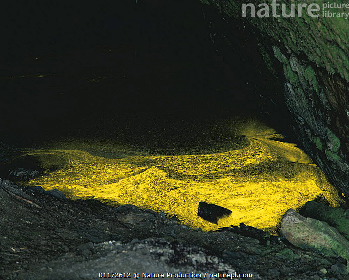 Golden algae {Ochromonas vischeri} glowing on freshwater surface, reflecting the light, Japan, ALGAE,ASIA,FRESHWATER,JAPAN,PLANTS, Nature Production