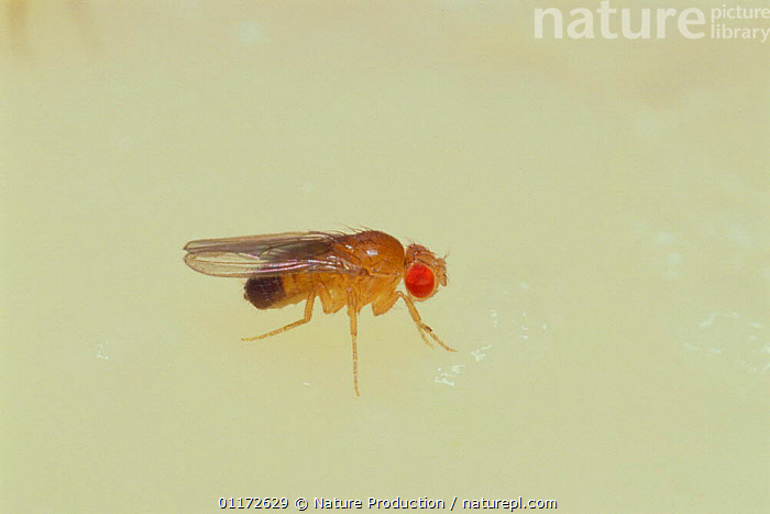 Fruit fly / Black-bellied Dew-lover {Drosophila melanogaster} normal male with red eyes, Japan, ARTHROPODS,DIMORPHISM,DIPTERA,EYES,FLIES,INSECTS,INVERTEBRATES,MALES,RESEARCH, Nature Production