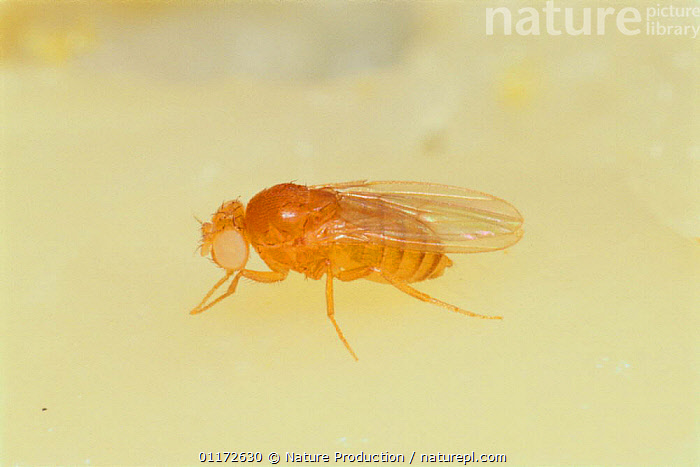 Fruit fly / Black-bellied Dew-lover {Drosophila melanogaster} with white eyes, Japan, ARTHROPODS,ASIA,DIMORPHISM,DIPTERA,EYES,FLIES,FRUIT FLY,INSECTS,INVERTEBRATES,JAPAN,RESEARCH, Nature Production