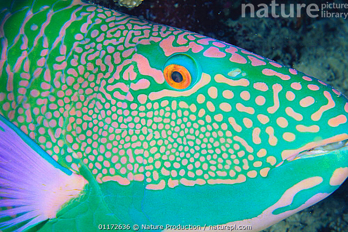Bicolor Parrotfish {Cetoscarus bicolor} face at night,, FISH,GREEN,INDO PACIFIC,MARINE,OSTEICHTHYES,PARROTFISH,PORTRAITS,TROPICAL,UNDERWATER,VERTEBRATES, Nature Production