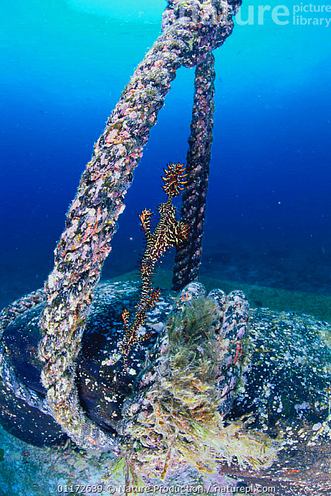 Ornate / Harlequin Ghost pipefish {Solenostomus paradoxus} near rope, Indo pacific, FISH,MARINE,OSTEICHTHYES,PIPEFISH,TROPICAL,UNDERWATER,VERTEBRATES,VERTICAL, Nature Production