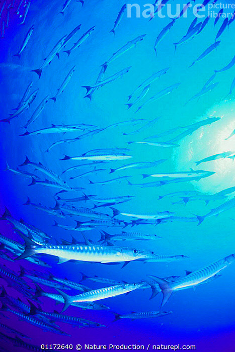 School of Great Barracuda {Sphyraena barracuda} Papua New Guinea, BARRACUDAS,FISH,GROUPS,MARINE,OSTEICHTHYES,SHOAL,TROPICAL,UNDERWATER,VERTEBRATES,VERTICAL, Nature Production
