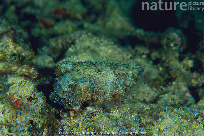 Stumpy spined Cuttlefish {Sepia bandensis} Menad,  Indonesia, CAMOUFLAGE,CEPHALOPODS,CUTTLEFISH,INDO PACIFIC,INVERTEBRATES,MARINE,MOLLUSCS,TROPICAL,UNDERWATER, Molluscs, Nature Production