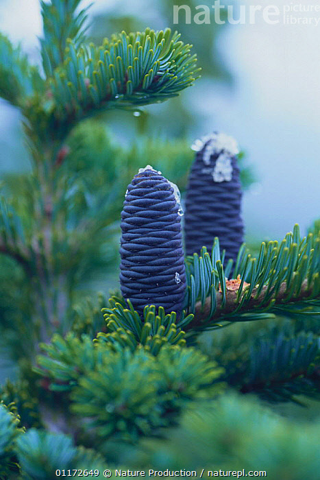 Veitch Fir cones {Abies veitchii} Tochigi, Japan, ASIA,CONE,CONIFERS,GYMNOSPERMS,JAPAN,PINACEAE,PINES,PLANTS,VERTICAL, Nature Production