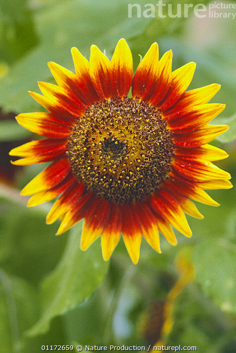 Sunflower 'Ring of Fire' {Helianthus annuus} Japan, ASIA,ASTERACEAE,COMPOSITAE,CULTIVATED,DICOTYLEDONS,FLOWERS,JAPAN,PLANTS,PORTRAITS,VERTICAL, Nature Production