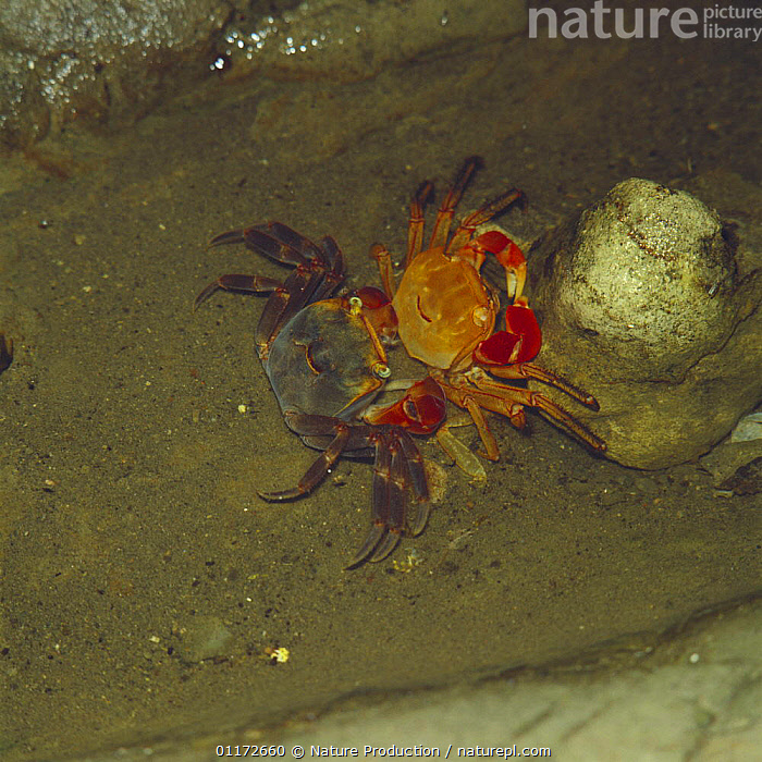 Crab {Sesarma / Chiromantes haematocheir} shedding skin, Japan, sequence 2/2, ASIA, BEHAVIOUR, CRABS, CRUSTACEANS, ecdysis, GROWTH, INVERTEBRATES, JAPAN, MARINE, moulting, UNDERWATER,Concepts, Nature Production