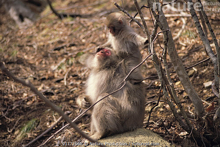 Japanese Macaque {Macaca fuscata} parent and young, Shimokita, Aomori, Japan, ASIA,BABIES,CARRYING,FAMILIES,JAPAN,MACAQUES,MAMMALS,MONKEYS,PRIMATES,SNOW MONKEY,VERTEBRATES, Nature Production