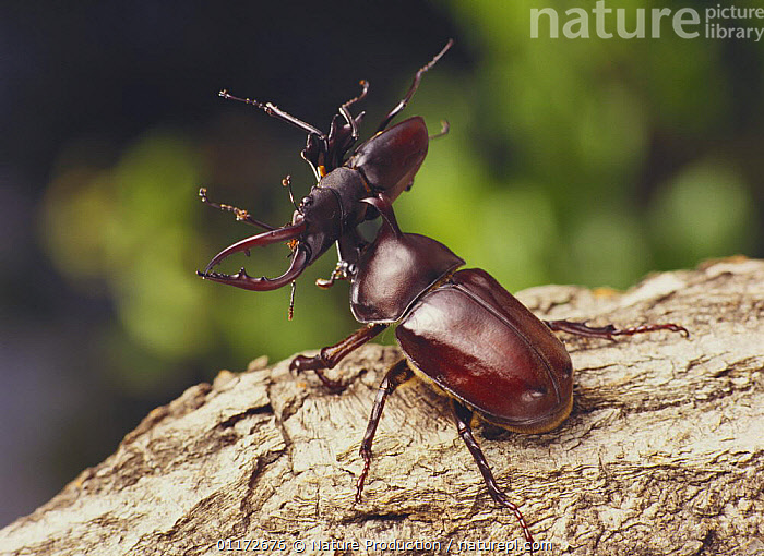 Japanese Horned / Rhinoceros Beetle {Allomyrina dichotomus} and Saw Stag Beetle {Prosopocoilus inclinatus inclinatus} fighting, captive, Japan, AGGRESSION, COLEOPTERA, INSECTS, INVERTEBRATES, JAPAN, mixed species, SCARAB BEETLES, strength,Asia, Nature Production