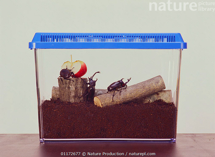 Breeding cage of Japanese Horned / Rhinoceros Beetle {Allomyrina dichotomus} captive, Japan, ASIA, COLEOPTERA, INSECTS, INVERTEBRATES, JAPAN, RESEARCH, SCARAB BEETLES, Nature Production
