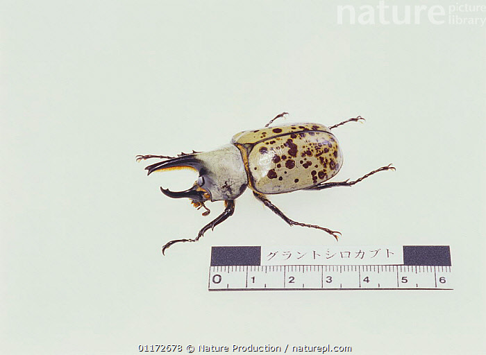 Grants' Rhinoceros Beetle {Dynastes granti} beside measure to show large size, Japan, ARTHROPODS,ASIA,COLEOPTERA,CUTOUT,HORNS,INSECTS,INVERTEBRATES,JAPAN,LARGE,SCARAB BEETLES, Nature Production