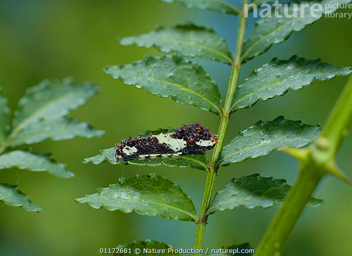 Caterpillar larva (third stage) of Chinese Yellow Swallowtail Butterfly {Papilio xuthus} captive, Japan, ARTHROPODS,ASIA,INSECTS,INVERTEBRATES,JAPAN,LARVAE,LEPIDOPTERA,SWALLOWTAIL BUTTERFLIES, Nature Production