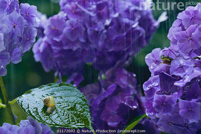 Korean Round Snail {Acusta despecta sieboldiana} and Japanese tree frog {Hyla japonica} on Hydrangea in rain, captive, Japan, AMPHIBIANS,FLOWERS,FROGS,GASTROPODS,INVERTEBRATES,JAPAN,MIXED SPECIES,MOLLUSCS,SNAILS,Asia, Nature Production