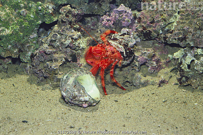 Hermit crab {Pagurus rubrior} changing from smaller to larger shell, sequence 1/3, captive, Japan, ARTHROPODS,ASIA,BEHAVIOUR,CRUSTACEANS,GROWTH,HERMIT CRABS,HOMES,JAPAN,MARINE,TEMPERATE,Concepts,Invertebrates, Nature Production