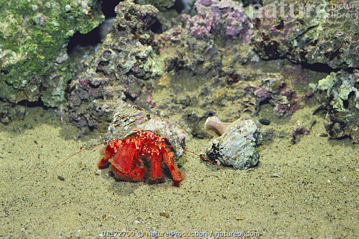 Hermit crab {Pagurus rubrior} changing from smaller to larger shell, sequence 3/3, captive, Japan, ARTHROPODS,BEHAVIOUR,CRUSTACEANS,GROWTH,HERMIT CRABS,HOMES,JAPAN,MARINE,SHELLS,TEMPERATE,UNDERWATER,Asia,Concepts,Invertebrates, Nature Production