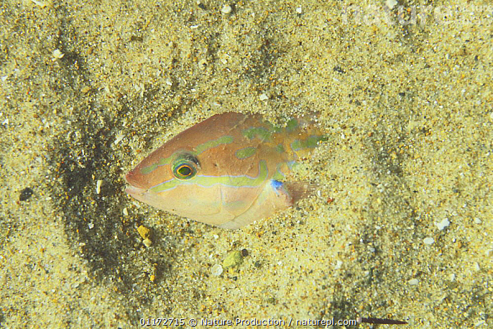 Wrasse {Halichoeres tenuispinis} sleeping half hidden in sand, cative, Japan, BEHAVIOUR, DEFENSIVE, FISH, hiding, MARINE, OSTEICHTHYES, PACIFIC, UNDERWATER, VERTEBRATES, WRASSE,Asia, Nature Production