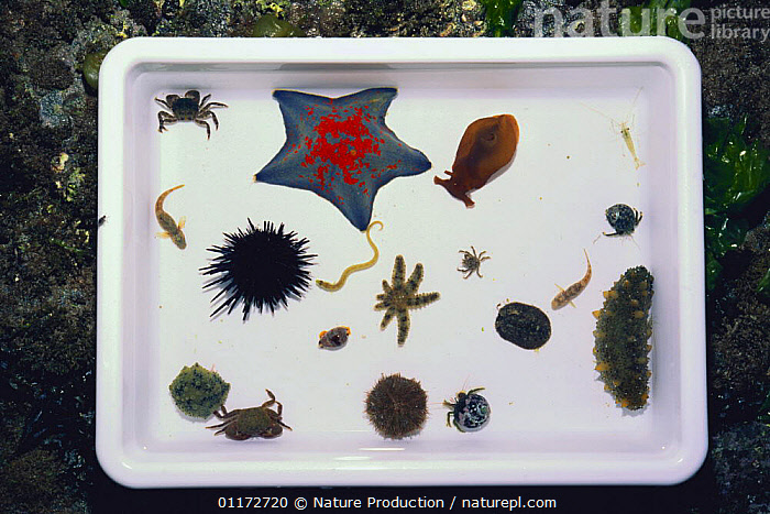 Collection marine animals found in tide pool, including sea stars, fish, crabs, sea cucumbers, sea urchins, shrimps, worms,  Japan, ASTEROIDEA,ECHINODERMS,INVERTEBRATES,LITTORAL,MIXED SPECIES,RESEARCH,ROCKPOOL,SEA STARS,STARFISH,Intertidal, Nature Production