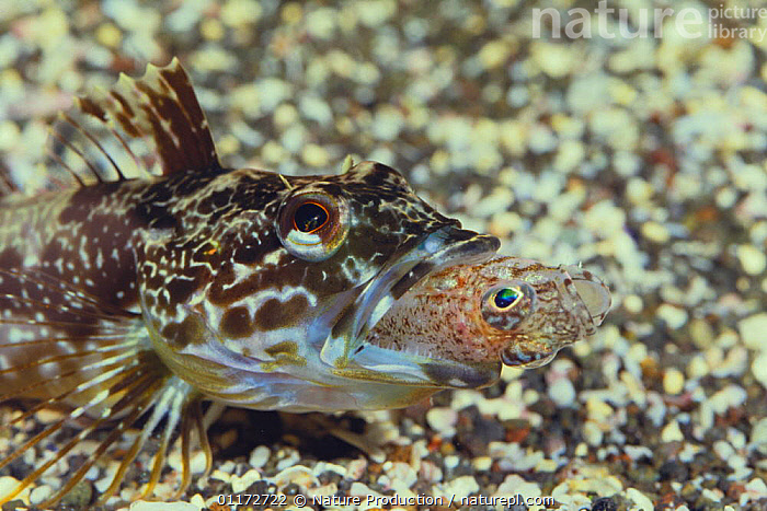 Sunrise Fish {Pseudoblennius percoides} preying upon {Sagamia geneionema} Japan, FEEDING,FISH,JAPAN,MARINE,MIXED SPECIES,OSTEICHTHYES,PREDATION,SCULPINS,SWALLOWING,TEMPERATE,UNDERWATER,VERTEBRATES,Asia,Behaviour, Nature Production