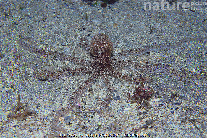 Octopus {Octopus minor} in camouflaged on seabed, captive, Japan, CAMOUFLAGE,CEPHALOPODS,INVERTEBRATES,MARINE,MOLLUSCS,OCTOPUS,UNDERWATER, Molluscs,Asia, Nature Production