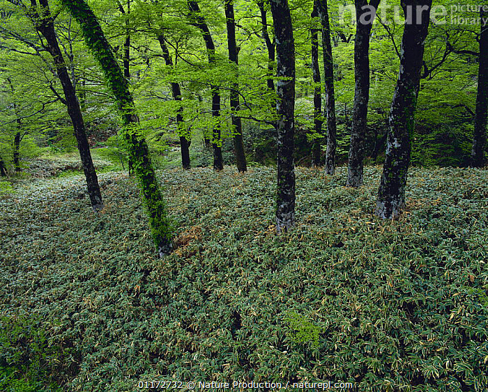 Japanese Beech forest {Fagus crenata} with Dwarf Bamboo {Sasa nipponica} growing under the trees, Ehime, Japan, DECIDUOUS,DICOTYLEDONS,FAGACEAE,JAPAN,LANDSCAPES,PLANTS,WOODLANDS,Asia, Nature Production