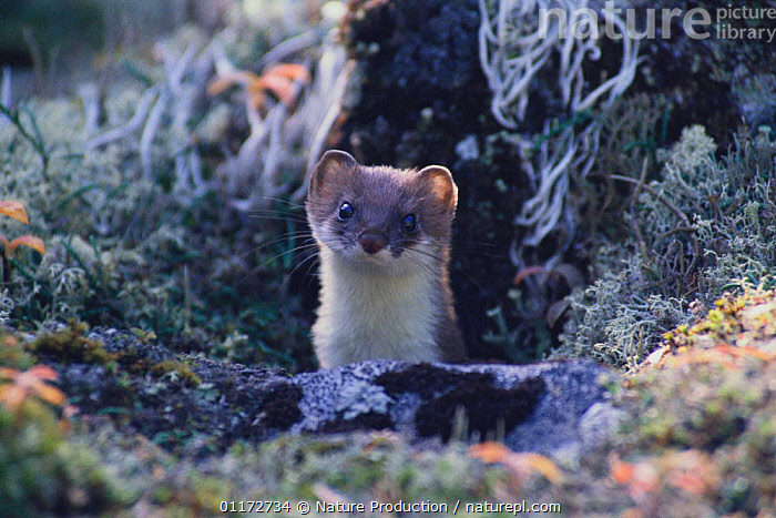 Least Weasel {Mustela nivalis} poking its head from behind a rock, Japan, ASIA,CARNIVORES,JAPAN,MAMMALS,MUSTELIDS,PORTRAITS,VERTEBRATES,WEASELS, Nature Production