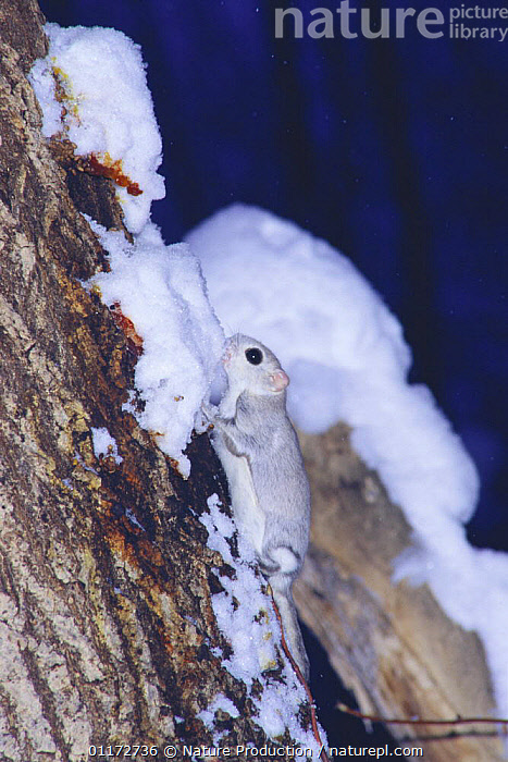 Siberian / Russian Flying Squirrel {Pteromys volans} eating snow off tree trunk, Hokkaido, Japan, ASIA,BEHAVIOUR,CAMOUFLAGE,FEEDING,FLYING SQUIRRELS,JAPAN,MAMMALS,NIGHT,RODENTS,TRUNKS,VERTEBRATES,VERTICAL,WHITE,WINTER, Nature Production