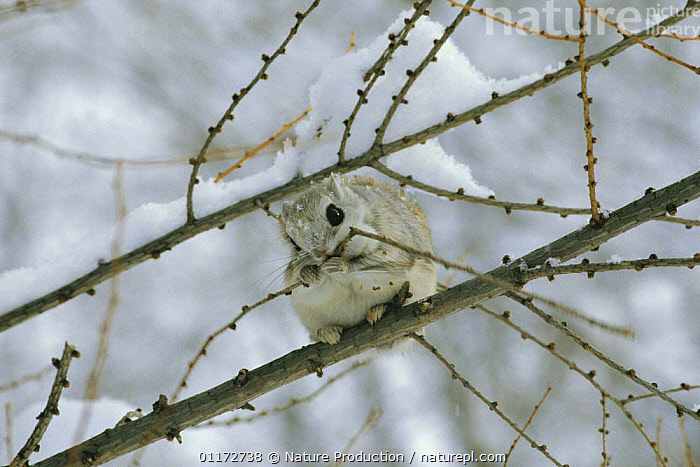 Siberian / Russian Flying Squirrel {Pteromys volans}feeding on winter buds in tree, Hokkaido, Japan, ASIA,BEHAVIOUR,FLYING SQUIRRELS,JAPAN,MAMMALS,RODENTS,TREES,VERTEBRATES,Plants, Nature Production
