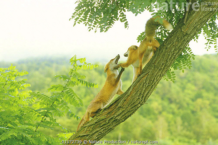 Two Red Fox (Hokkaido Fox) {Vulpes vulpes schrencki} fighting on a tree, Hokkaido, Japan, AGGRESSION,ASIA,BEHAVIOUR,CANIDS,CARNIVORES,FOXES,JAPAN,MAMMALS,TRUNKS,VERTEBRATES,WOODLANDS,Concepts,Dogs, Nature Production